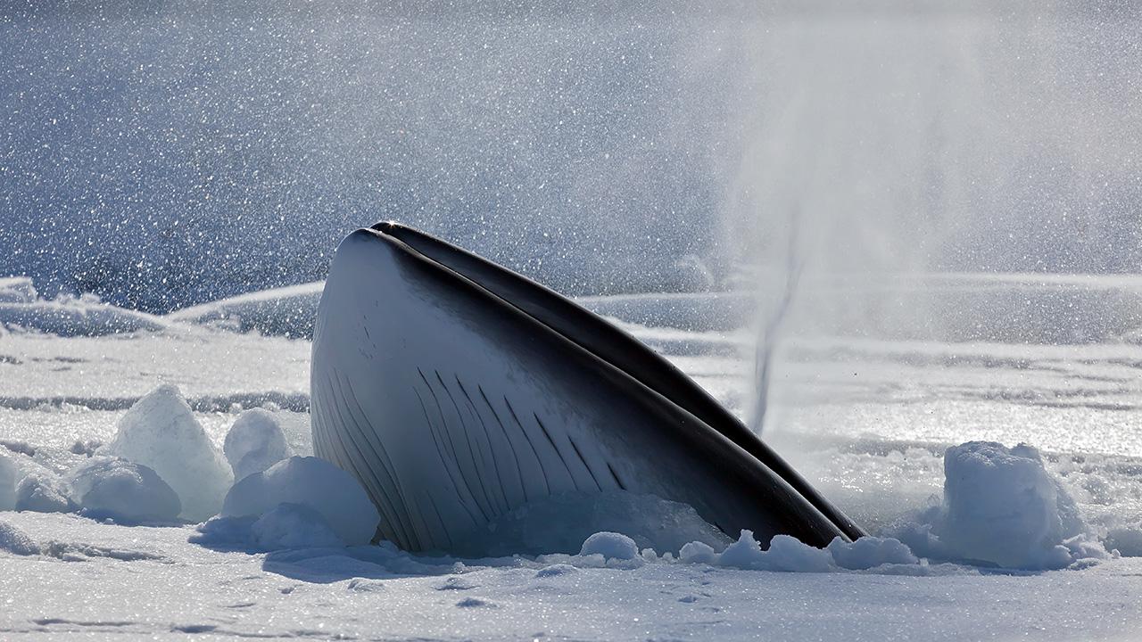 Minke whale in Antarctica