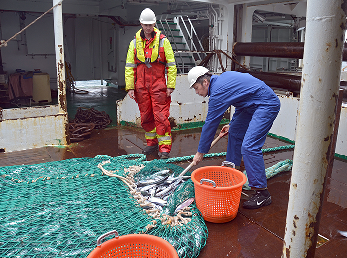 Collecting fish from trawl