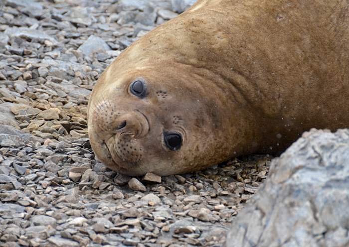 Elephant seal in Antarctica