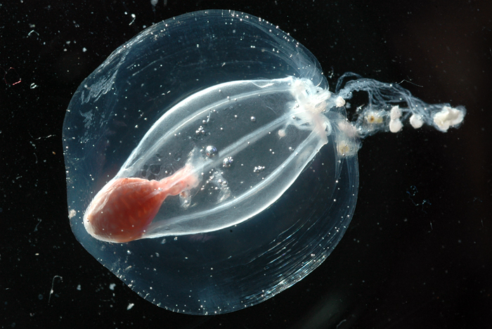 pretty jellyfish from Southern Ocean
