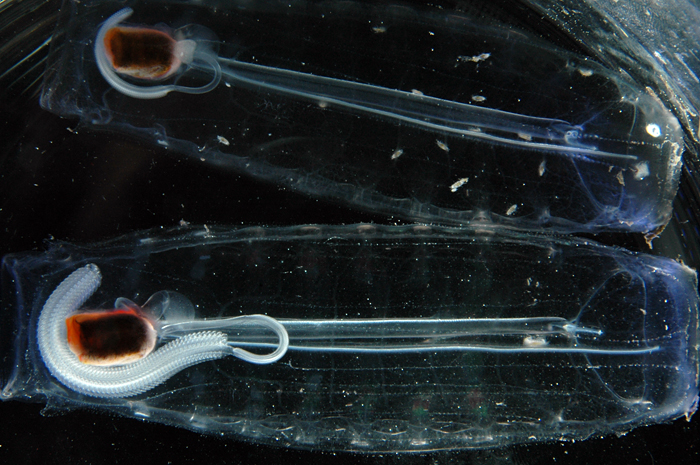 two transparent salps with chains of offspring visible inside them