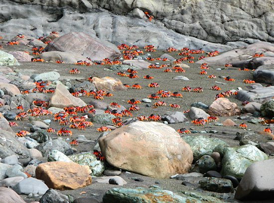 A torrent of crabs