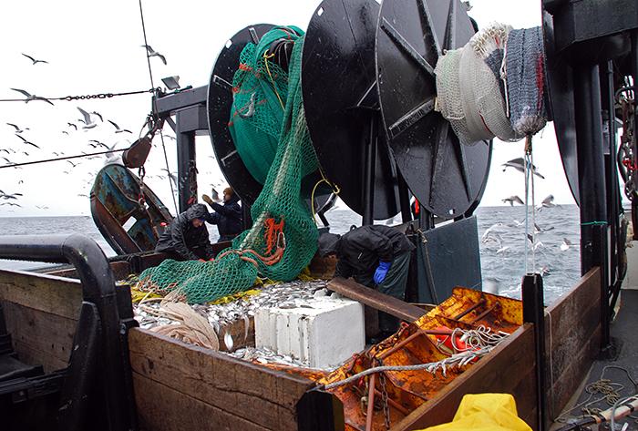 butterfish in trawl
