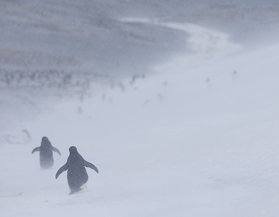 penguins in snow storm