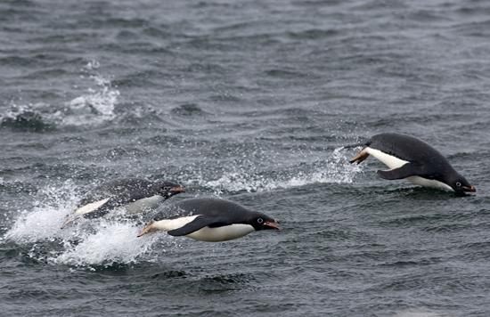 Adelie penguins swimming in open water.