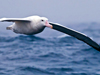 Albatross flight