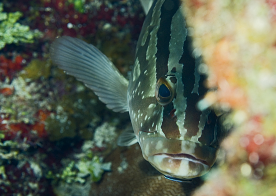 Peek-a-boo grouper