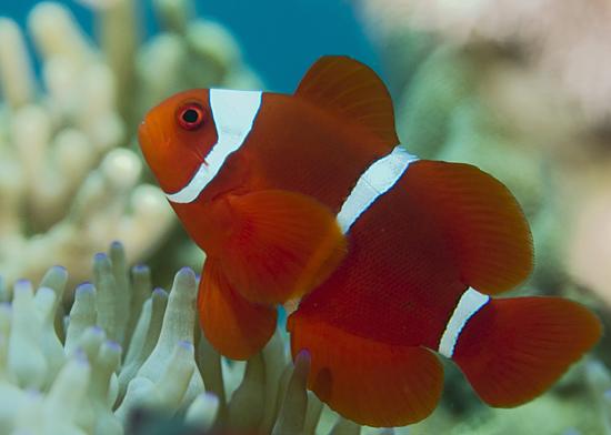 Tracking reef fish larvae