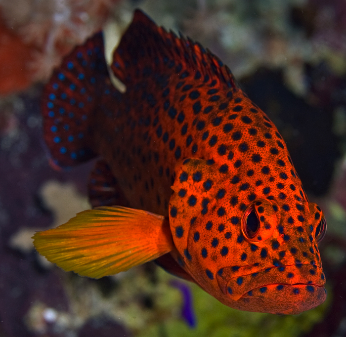 portrait of a grouper on reef at Kimbe Bay, Papua New Guinea