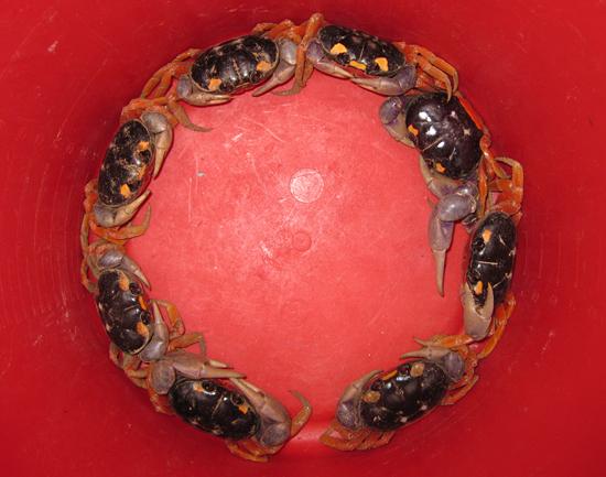 gyory crab circle
