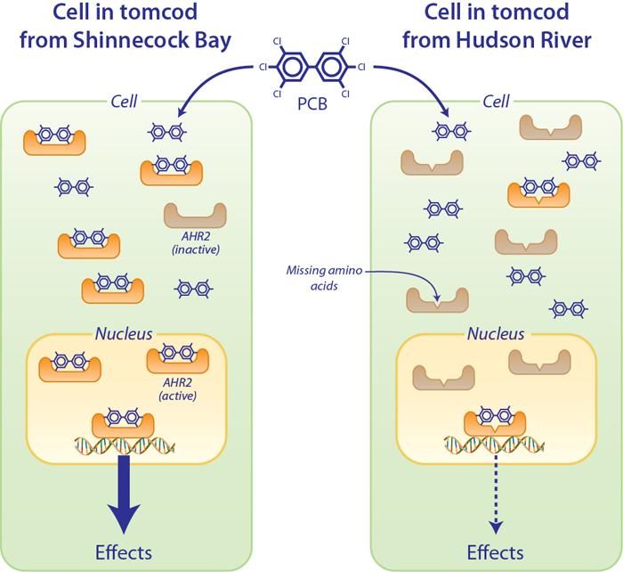 diagram of protein involved in PCB resistance in tomcod