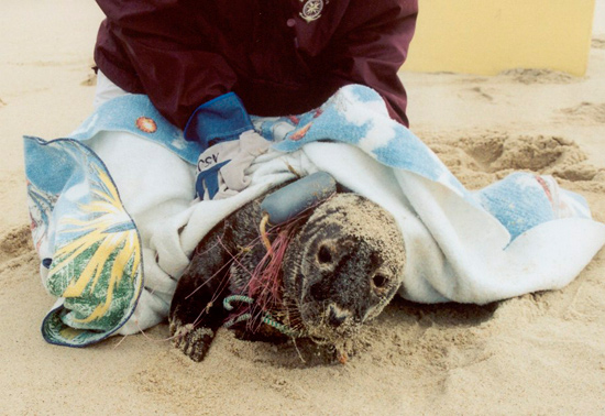 Seals entangled in fishing lines and gear may strand on beaches, where they are noticed by people.