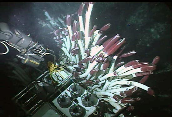 The Alvin sub samples deep-sea tubeworms