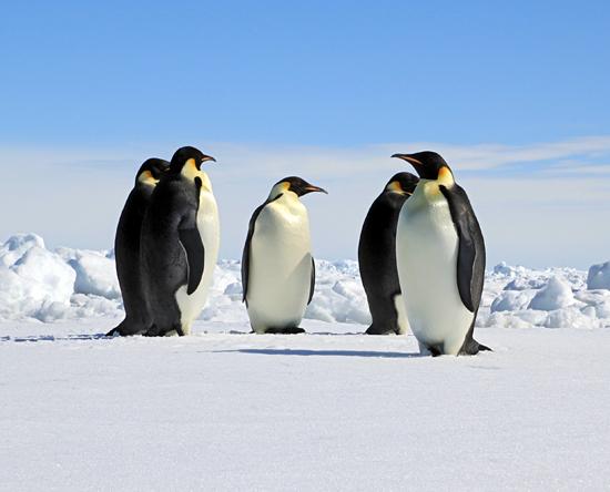 Penguins in Weddell Sea
