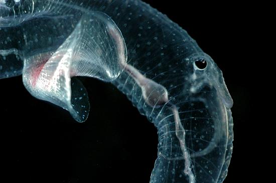 Cardiapoda, heteropod mollusc