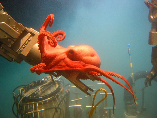Red octopus clinging to DSV Alvin's manipulator arm.