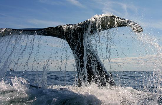 A humpback whale (Megaptera novaeangliae) flukes' waterfall