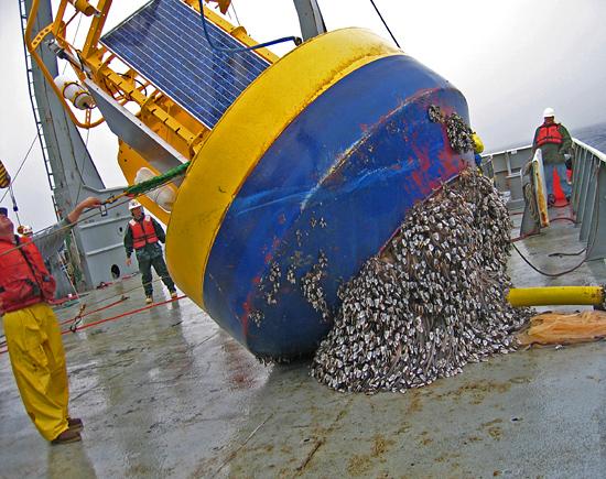 Nootka Buoy, heavily fouled with gooseneck barnacles.