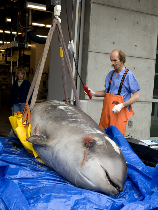 Michael Moore prepares a 12-foot Cuvier's beaked whale ((Ziphius cavirostris) for a necrospy.