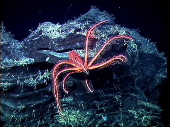 A brisingid or seastar rests on a lava formation