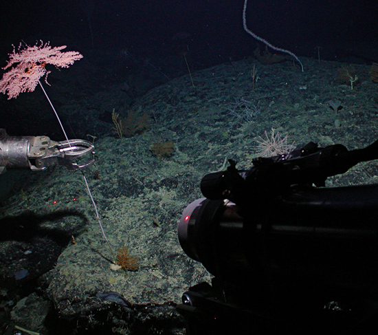Coral being sampled with DSV Alvin's manipulator arm on Alvin dive 3904