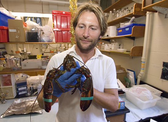 Tim Verslycke works on a lobster in the lab.