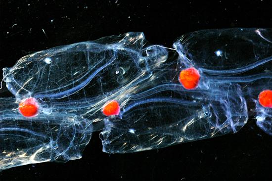 Salpa maxima (pelagic tunicate).