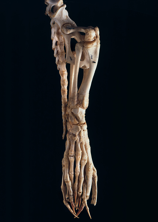 Finger like bones on a harbor seal skeleton, taken in Darlene Ketten's lab.