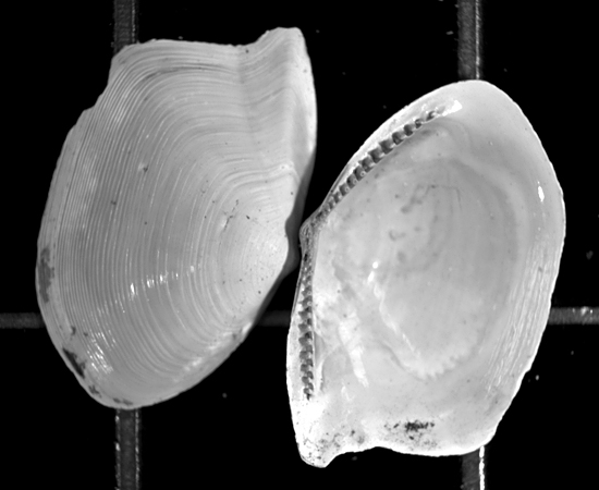 17,500-year-old shells from a clam found in North Atlantic seafloor sediment.
