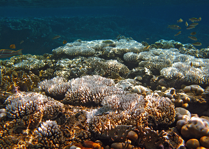 Red Sea bleaching event