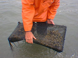 Rigid cages are used to contain surf clams in a shellfish aquaculture demonstration experiment