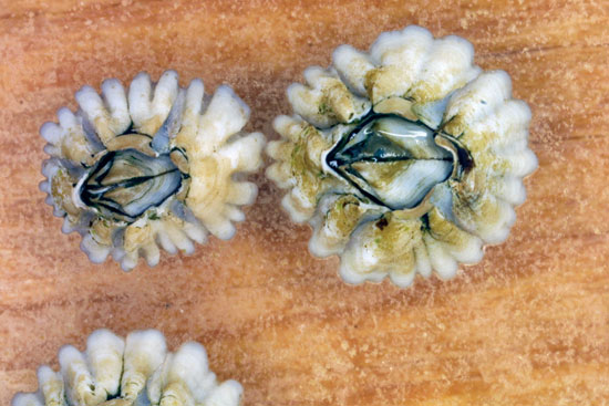 Adult barnacles, about one year old, form plates to hold their body together and for protection.