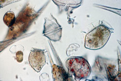 Harmful algal blooms are caused by species of tiny plants—phytoplankton—that produce potent chemical toxins.