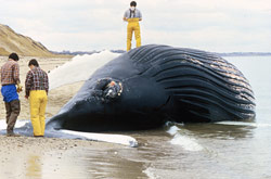 A dead humpback whale washed up on the shores of Cape Cod, Mass., as a result of a harmful algal bloom in November 1987.