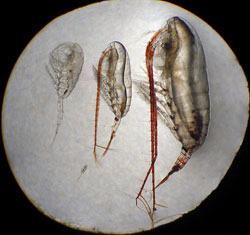 The four major species of copepods in the Beaufort Sea