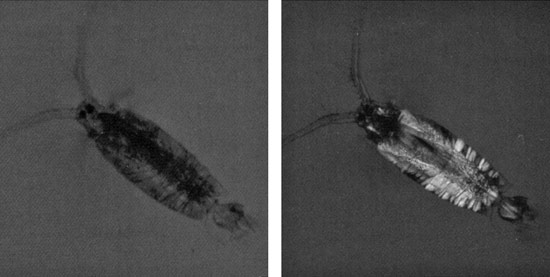 Prey species like the copepod (Labidocera), are nearly transparent in visible light (left), but are brightly visible when photographed in polarized light (right), or to a predator that can see polarization of light.