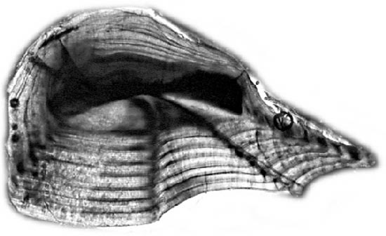 Weakfish otolith