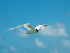 fairy tern in flight