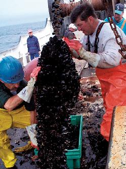 scraping mussels from fish farming ropes