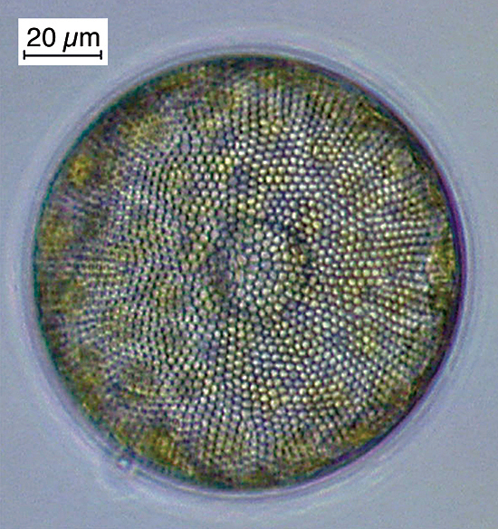 The diatom Coscinodiscus