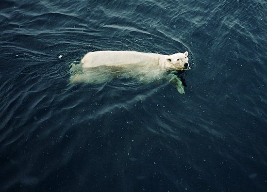 swimming polar bear