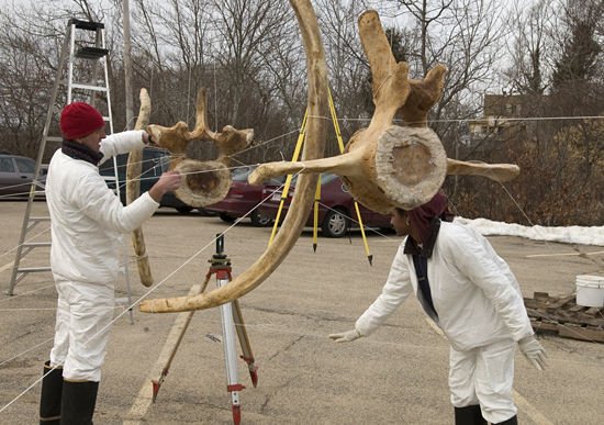 Michael Moore (left) and Regina Campbell-Malone (right) assembling right whale bones.