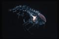 Deep Sea Amphipod