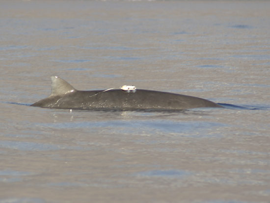 A D-Tag on a Blainville.s beaked whale in the Canary Islands.