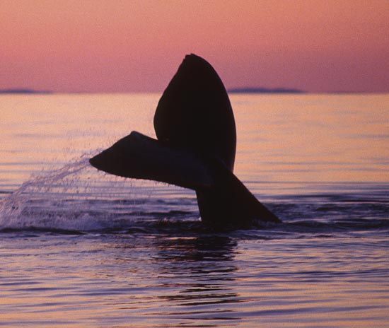 Endangered North Atlantic Right Whale Study Says