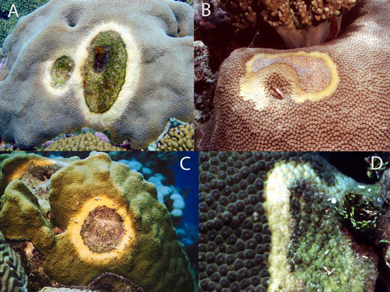 corals showing yellow band disease