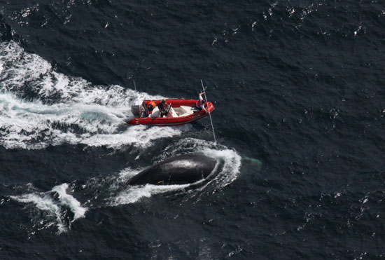 boat carries team who attempt to disentangle right whale