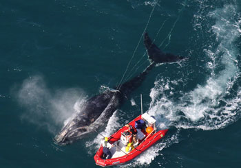rescuers approach whale in inflatable boat