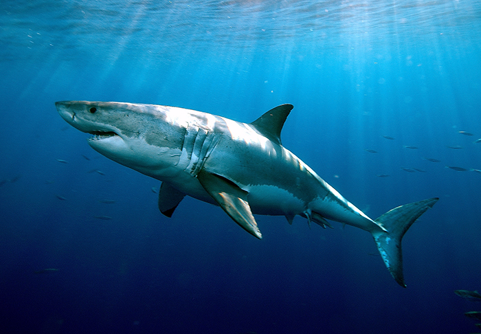 New Study Finds Extreme Longevity in White Sharks : Woods Hole ...
