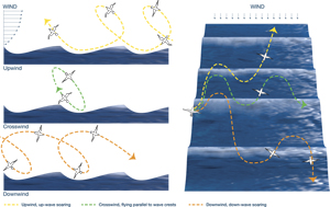 Albatrosses extract energy from winds to soar, as seen in these diagrammatic views from the side (left) and from overhead (right). Above a wave, winds blow progressively faster the higher you ascend. As albatrosses rise at an angle from a relatively windless wave trough, they cross a boundary into an area of brisk winds. They abruptly gain airspeed, giving them a burst of kinetic energy that allows them to climb to heights of 10 to 15 meters above the ocean. Then they bank downwind and swoop down into another wave trough, adding airspeed as they cross the boundary in reverse, and begin the cycle again.